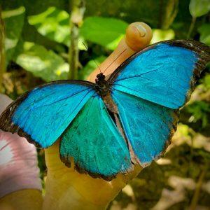 Blue Morpho at Caya Shobo