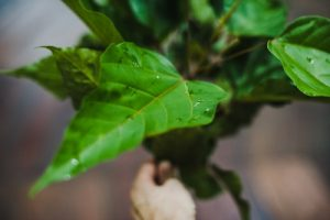 Master Dieta Plant Caya Shobo web