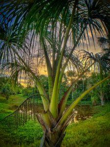 Palm Caya Shobo